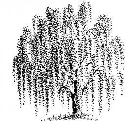 Perma Stempel Holzstempel - Trauerweide